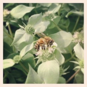 Honey Bee on Mint